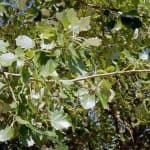 Siebengebirge naturaleza, arboles, alamo temblón