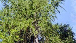 Siebengebirge naturaleza, arboles, alerce