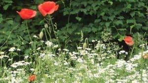 Siebengebirge naturaleza, flores, amapola