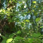 Siebengebirge naturaleza, arboles, arboles riberenos