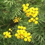 Siebengebirge naturaleza, flores, atanasia