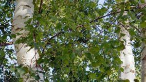 Siebengebirge naturaleza, arboles, betula