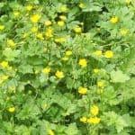 Siebengebirge naturaleza, flores, botón de oro