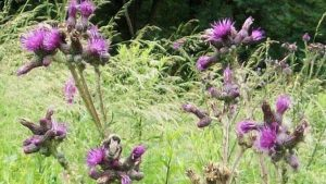 Siebengebirge naturaleza, flores, cardo mariano