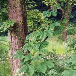 Siebengebirge naturaleza, arboles, castaño