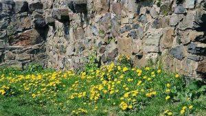 Siebengebirge naturaleza, flores, diente de lion