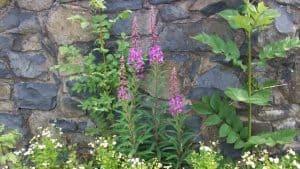 Siebengebirge naturaleza, flores, epilobio