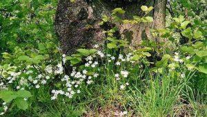 Siebengebirge naturaleza, flores, estrellada