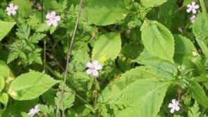 Siebengebirge naturaleza, flores, geranium robertiarum