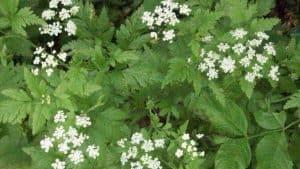 Siebengebirge naturaleza, flores, heracleum