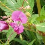 Siebengebirge naturaleza, flores, impatiens glandulifera