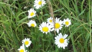Siebengebirge naturaleza, flores, margerita