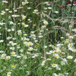 Siebengebirge naturaleza, flores, pascueta