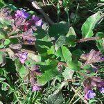 Siebengebirge naturaleza, flores, pulmonario
