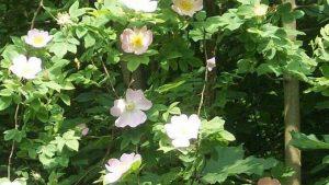 Siebengebirge naturaleza, flores, rosa canina